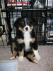 Miniature Australian Shepherd, 13 Weeks, Black Tri