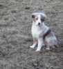 Miniature Australian Shepherd, 13 weeksred, red merle with white collar/ chest