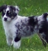 Miniature Australian Shepherd, 2 week old puppies, BLUE MERLE, RED MERLE, RED TRI, BLACK TRI