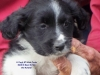 Miniature Australian Shepherd, 7 weeks old, RED TRIS, BLACK TRI