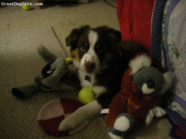 Miniature Australian Shepherd, 15 weeks, Red Tri, Such a sweet boy! very cuddly