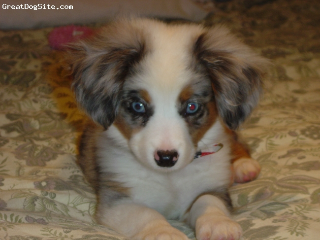 Miniature Australian Shepherd, 9 weeks, blue, HES A WONDERFUL MINITURE AUSSIE HES A BLUE MERLE WITH BLUE EYES.