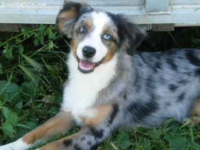 Mini australian shepherd blue merle