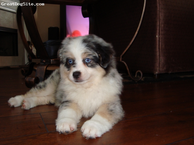 Miniature Australian Shepherd, 2 Months, Blue Merle, She is a lovely Blue Merle with a super sweet personality.