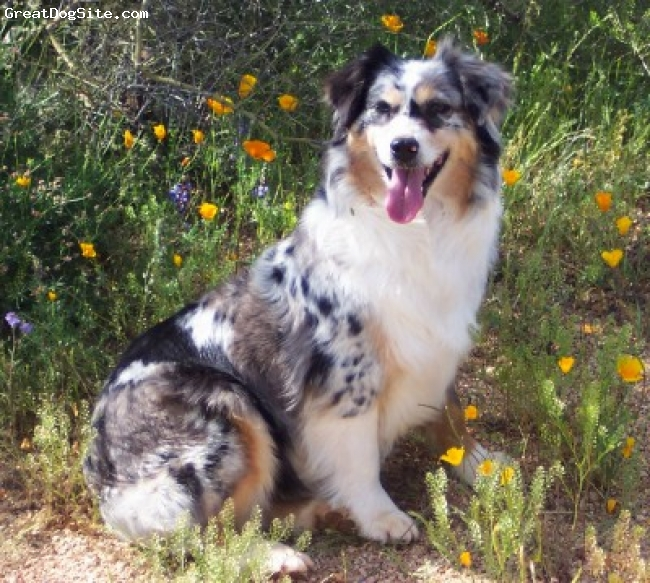 Miniature Australian Shepherd, 7 yrs, Blue Merle, Lacy is a Multi Champion and has produced many champions in conformation, agility, herding and therapy work. She has won Brood Bitch at our mini aussie national several years in a row.