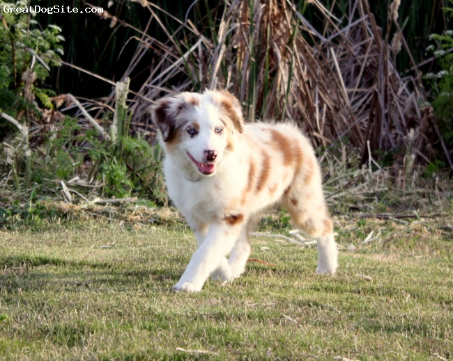 Miniature Australian Shepherd, 3 months, Red Merle, Chantilly is one of my up coming super stars. An example of the quality and type of miniature aussies I raise here at Boldheart.