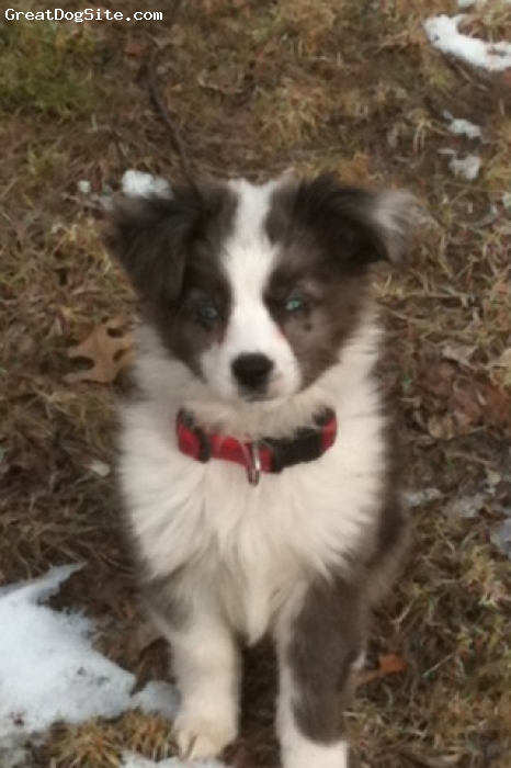 Miniature Australian Shepherd, 8 weeks, blue merle, he loves to be someones cuddle buddie