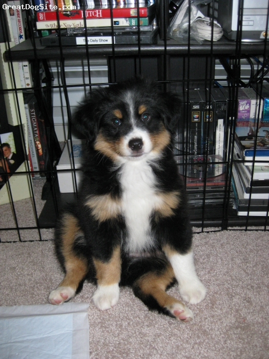 Miniature Australian Shepherd, 13 Weeks, Black Tri, Auzzy was 9 weeks in this pic! He's such a cutie!