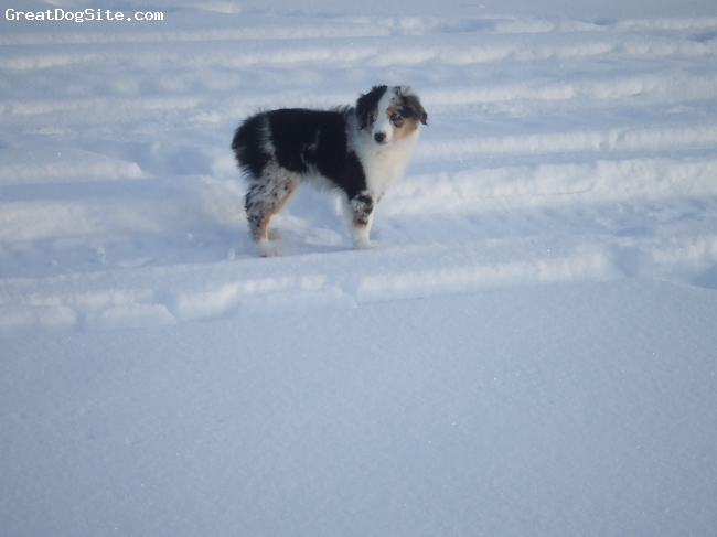 Miniature Australian Shepherd, 3 months, Blue Merle, She is only 3 months old in this picture but is already full of energy and loves to play in the snow field behind our house!