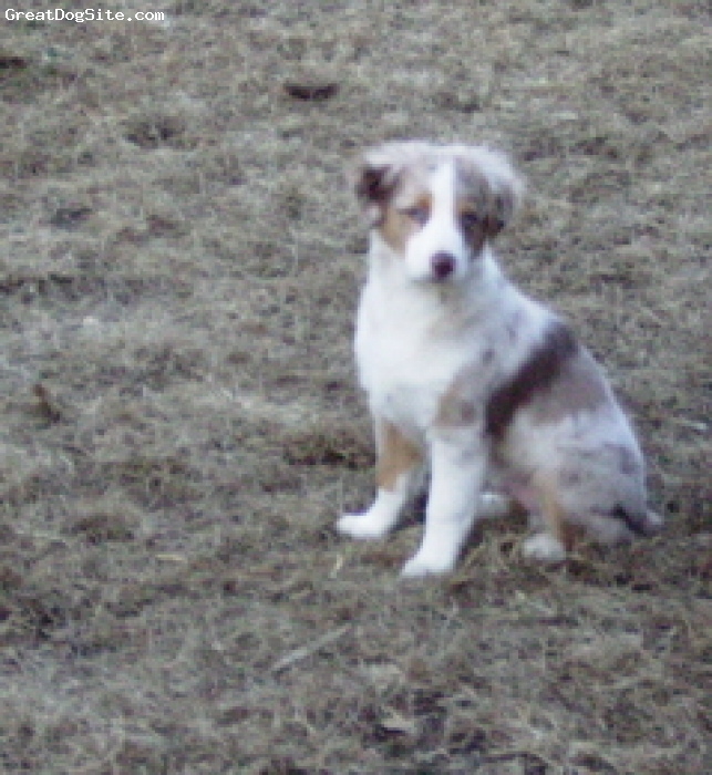 Miniature Australian Shepherd, 13 weeksred, red merle with white collar/ chest, red merle male