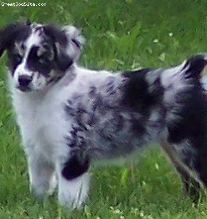 Miniature Australian Shepherd, 2 week old puppies, BLUE MERLE, RED MERLE, RED TRI, BLACK TRI, ARAQUA Kennel is a small kennel that occasionally raises Miniature Australian Shepherd puppies with wonderful temperments.