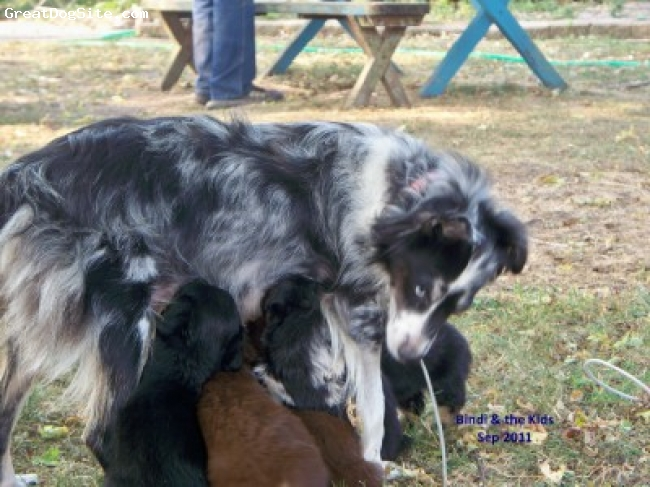 Miniature Australian Shepherd, 7 weeks old, RED TRIS, BLACK TRI, ARAQUA BINDI AND PUPS