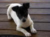 Miniature Fox Terrier, 12 weeks, Blk Wht