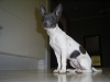 Miniature Fox Terrier, 1 year, White, Black and Blue