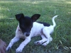 Miniature Fox Terrier, 2 months old, White with Black