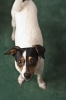 Miniature Fox Terrier, 28 months, Black,White,Tan