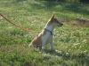 Miniature Fox Terrier, 5 months, white and brown