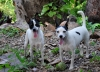 Miniature Fox Terrier, 2, tricolor