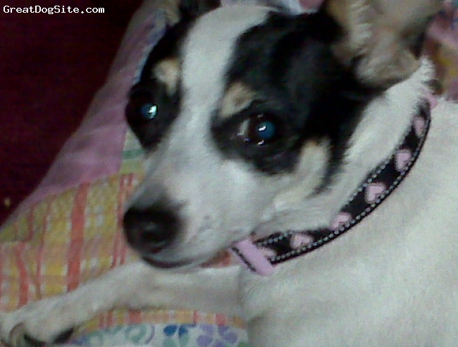 Miniature Fox Terrier, 3, white body black mask, Cutest, sweetest, and most playful little girl.