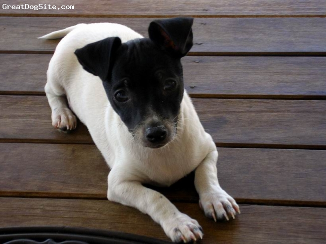 Miniature Fox Terrier, 12 weeks, Blk Wht, Just a bundle of fun.