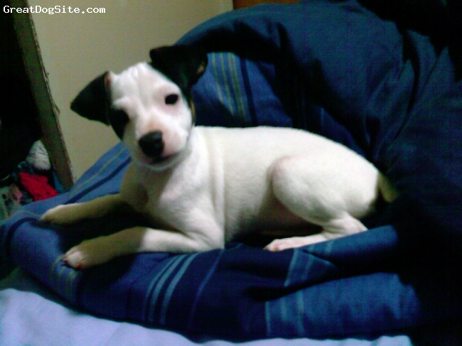 Miniature Fox Terrier, 2 months, White with black, This is my 2 month old puppy Lily, I've only had her a week and she is a very easy dog to train.