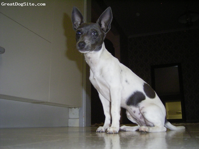 Miniature Fox Terrier, 1 year, White, Black and Blue,  love her so much...