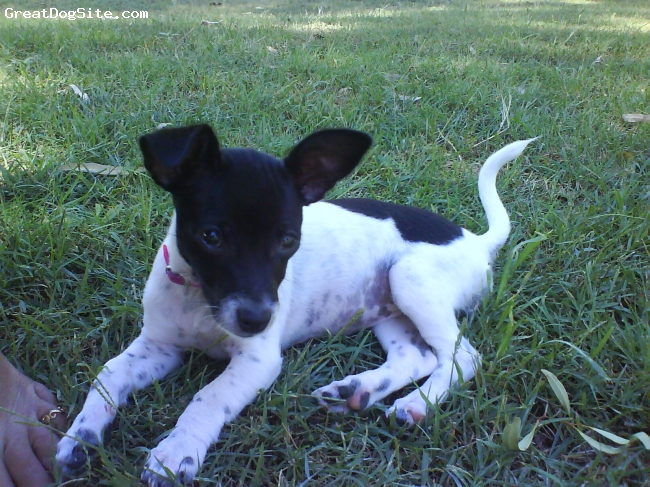 Miniature Fox Terrier, 2 months old, White with Black, Loves running, pulling toys to bits and kiss'n'cuddles.