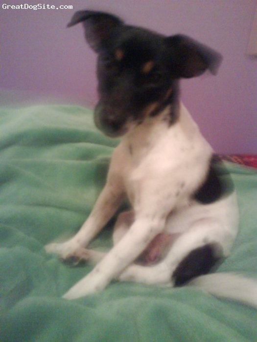 Miniature Fox Terrier, 3 years, tri coloured, petite little 3.7 kilo girl . So affectionate and fun.