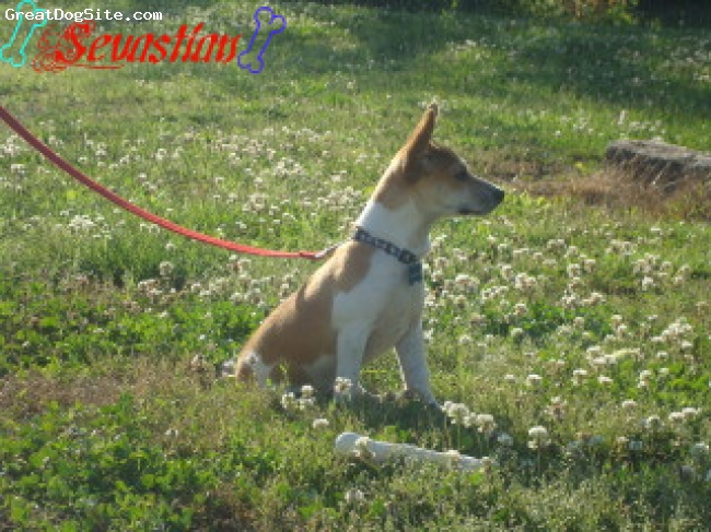 Miniature Fox Terrier, 7 months, tan and white, loving and great with other animals
