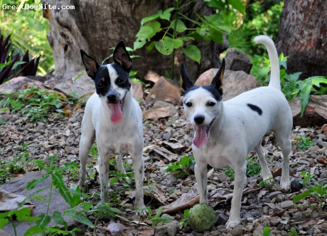 Miniature Fox Terrier, 2, tricolor, Alfie (male, right 18 months old) and Louie (female, left 14 months old) in the  tropical wet season of North Queensland, Australia