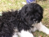 Miniature Littlefield Sheepdog, 8 months, black and white