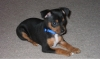 Miniature Pinscher, 2 Months, Black and Tan