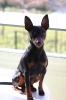 Miniature Pinscher, 4, Black/Tan