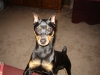 Miniature Pinscher, 1 year, black and rust