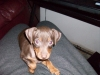 Miniature Pinscher, 5mths, Brown/Tan