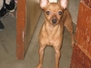 Miniature Pinscher, 2 years old, brown