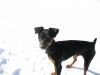 Miniature Pinscher, 7 months, black/tan