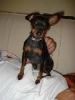 Miniature Pinscher, 2, Black