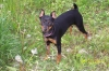 Miniature Pinscher, 8 months, black and rust