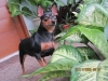 Miniature Pinscher, 18 months, black and brown