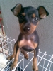Miniature Pinscher, 4 months, black & tan