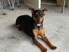Miniature Pinscher, 4, black