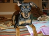 Miniature Pinscher, 2.5-3 months, black/brown