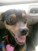 Miniature Pinscher, 6, black and tan