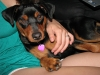 Miniature Pinscher, 1, Black & Tan