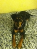 Miniature Pinscher, 1, brown/black