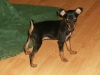 Miniature Pinscher, 3 mos., Black & Tan
