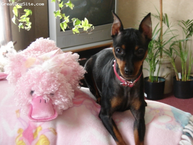 Miniature Pinscher, 1 yr, Blk-Tan, LaiLa's Easter pic, hope you enjoy. She throws her duck around like it is a toothpick & plays fetch with it.