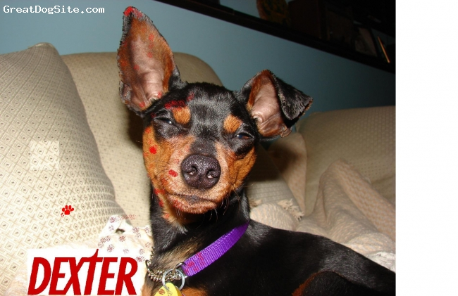 Miniature Pinscher, 2yr, Tan/Black, 2yr old stray...now in our happier home