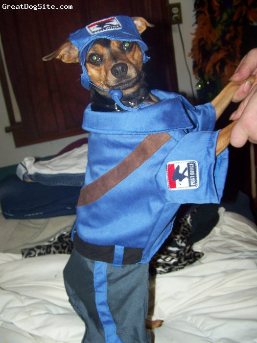 Miniature Pinscher, 1, blk & brn, Following his Mommy's choice of employment, Killer is ready for his first day at work.